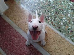 Are there any Bull Terrier Lover's on Imgur?