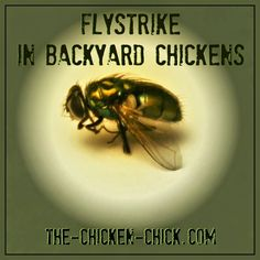 Flystrike is a sanitized nickname for maggots living in and feeding on the dead skin of a live animal, which results in an infection. Flystrike can affect chickens, humans and other animals. Flystrike is also known as myiasis, blowfly strike and fly-blown. Whatever you call it, it's nasty and can be fatal if undetected in time.