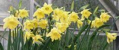 Earliest to flower narcissus but almost impossible to source!