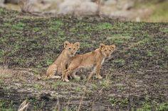 So many newborns in the Serengeti... (Serengeti Migration Camp) Photo credit: Ryan Mc Farlane