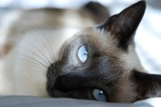 I love the way siamese cats look. The contrast of bright blue eyes on black face is striking.