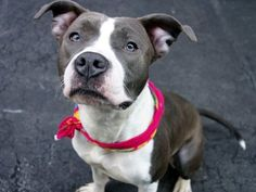 GONE 5-21-2015 --- Manhattan Center BONNIE – A1035578 FEMALE, WHITE / GRAY, PIT BULL MIX, 2 yrs OWNER SUR – EVALUATE, NO HOLD Reason NO TIME Intake condition UNSPECIFIE Intake Date 05/07/2015