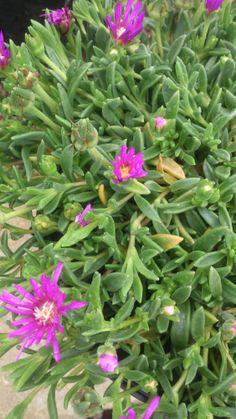 Delosperma cooperi. Hardy Ice Plant.