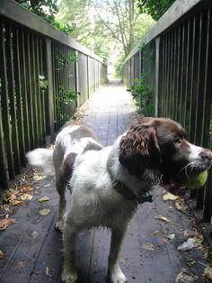 Dog - Loki the Springer Spaniel