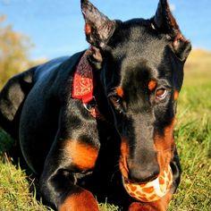 Cute Doberman Pinscher.He wants to play  #dobermans #dogs