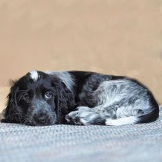 Blue Roan Cocker Spaniel, Springer Spaniel Puppies, Pet Dogs, Dogs And Puppies, Dog Cat, Doggies, Spaniel Breeds, Dog Breeds, Animals Beautiful