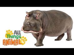 HIPPOS: Animals for children. Kids videos. Kindergarten | Preschool learning - YouTube