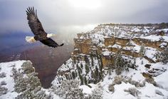 picture of eagle flying - Bald eagle flying above grand canyon - JPG
