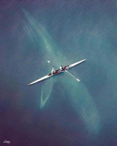Mammifères marins de la Côte-Nord · · A Blue Whale of 30 metres long for 70 tonnes just below a rowing oar is the largest mammal living in our time. Thanks to ugur eroğul for this cliché.