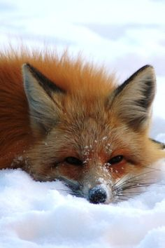 red fox in the snow...