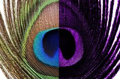 Peacock feather Birds have four types of cone cells in their eyes called photoreceptors (humans have three), and can see many more colours than we can. They can also see ultraviolet, which means that the 'eye' markings in a peacock's tail features looks sharper