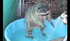 White Wolf : Ecstatic Rescued Raccoon Just Can't Stop Bouncing