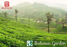 #BalasunTeaGarden located at north Kurseong area in Sonada, the garden spans across an area of 181 hectares with an elevation ranging from 365 to 1375 meters. The temperature in the garden varies between 7°C - 30°C through the year. The estate produces 51% pure China tea, 40% hybrid #Assam type and rest are #Darjeeling quality clonal variety.