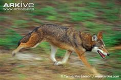 Red wolf photos - Canis rufus | ARKive