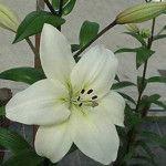 Litouwen Asian Lilies, Lithuania, Lily, Plants, Orchids, Flora, Plant, Lilies