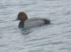 Bird Photos, Birding Sites, Bird Information: BREEDING MALE REDHEADS, LAKE ONTARIO, COLONEL SAMU...