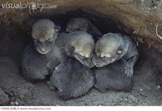 Timber Wolf pups in den
