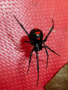 Black Widow.  Used to see these all of the time up in the Adirondack Mnts, while growing up.