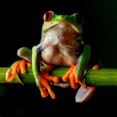 Captivating red eye tree frog Photo by Andrew Rundgren -- National Geographic Your Shot