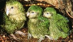 The kakapo is one of the most unique birds you will ever see and it is the only parrot incapable of flight. Found in New Zealand it only comes in one color, yellow green, and it even has whiskers under its beak. The 126 remaining birds are extremely endangered