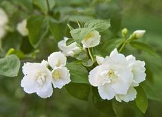 """""""Mock orange needs a light going over every year, just after flowering, to remove any twiggy growth that's badly placed or weak-looking."""" 