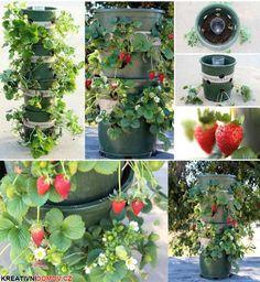 Pěstujeme jahody