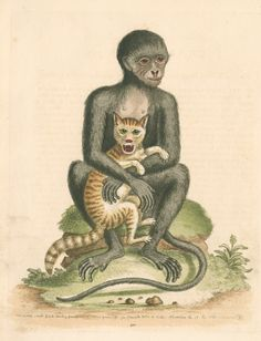 """Zoological study of an unidentified monkey, shown sitting on a grassy hillock and holding a domestic cat. Plate 311 from chapter 101 of Gleanings of natural history, exhibiting figures of quadrupeds, birds, insects, plants, &c..., by George Edwards, volume 3 (London, for the author, 1764). The plate is inscribed: """"The middle sized Black Monkey, from Guinea in Africa form life. Geo Edwards Delin: et Sculp: November the 14 AD 1761.""""  Original: etching. 1761"""