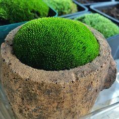 Fee Gärten Etc Einfach zu Wachsen Samen Hardy Irisch Moos Rasen für Bonsai