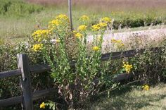 Stiff Goldenrod. Native Border Plants, Nativity, Christmas Nativity, The Nativity, Bethlehem