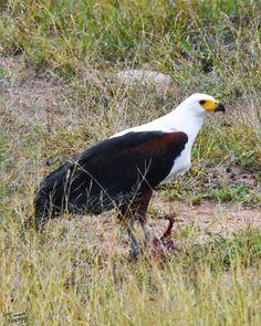 African Fish Eagle on a Spurfoul Kill . Kruger National Park, National Parks, Birds Of Prey, Predator, Bald Eagle, African, Fish, Adventure, Animals