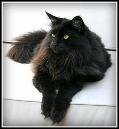 Maine Coon, Black Solid (n). Whistle Mountain's Elvira Mimosa
