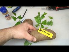 Put A Lemon Cutting In A Potato And Watch It GROW!!! organic growing how to grow lemon planting - YouTube