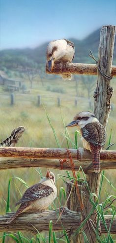 The Artful Dodger by Greg Postle - RARE from Landsborough Galleries - Buy Online Australian Birds, Australian Artists, Bird Artwork, Funny Birds, Bird Pictures, Wildlife Art, Nature Animals, Bird Prints, Beautiful Birds