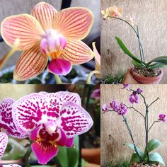 Minhas primeiras orquídeas. São mini e estavam com um preço ótimo! Não resisti rs. Oremos que sobrevivam comigo.  #saberesdojardim #meujardim #minhasplantas #flores #orquideas #jardimnavaranda