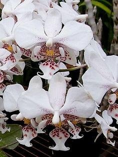 Phal Stuartiana Punctatissima | Phalaenopsis stuartiana :