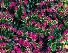 Cuphea hyssopifolia / sinitulitorvi