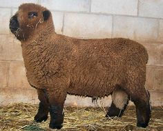 Olde English Southdown baby doll sheep. Two feet tall, super soft fleece. Perfect size to have on minimal property. Super fine fleece for spinning. I want two please.