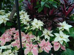 Pink and white poinsettias with purple Cordyline at the Toronto Allan Gardens Conservatory 2012 Christmas Flower Show by garden muses: a Toronto gardening blog
