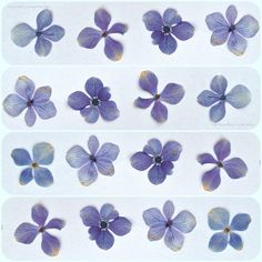 forget me nots- flower press