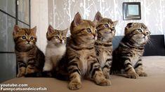 Funny Cats Choir   Dancing Chorus Line of Kittens - http://www.viralbuzzspot.com/funny-cats-choir-dancing-chorus-line-of-kittens/