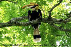 Great Indian Hornbill  http://www.tsuru-bird.net/a_species/hornbill_great/hornbill_great_winter_thailand_7a.jpg