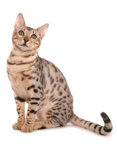 See more Bengal Cat History