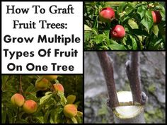 How To Grow Fruit Trees In Containers Growing Grapes, Growing Tree, One Tree, Miniature Fruit Trees, Pruning Plants, Plant Propagation, Grafting Fruit Trees, Fruit Trees In Containers, Hippie Juice