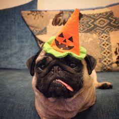 Ruppert loves Halloween #cute #pet #animal #dog #chien #pup #puppy #chiot #halloween