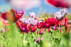 Horst Winkler - Graumohnfeld Nature, Plants, Naturaleza, Planters, Nature Illustration, Outdoors, Plant, Planting, Natural