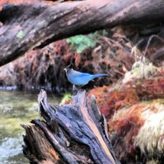 Blue bird at Yosemite