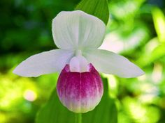Dreaming of A PINK Summer : Pink and White Lady Slipper, Minnesota's State Flower <3