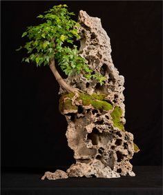 Acer on rock