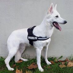 Harnais julius k9 pour chien - Lot harnais et laisse pour chien - United Pets / wanimo