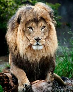 African Male Lion Trying out a New Doo?